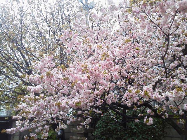 宗延寺の桜(AKI)