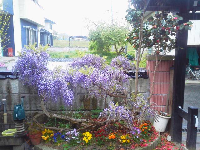 藤の花(AKI)